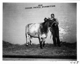 Man with cattle in Livestock building