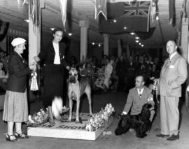 Best Dog in Show award being presented at Exhibition dog show [Great Dane and Cocker Spaniel]