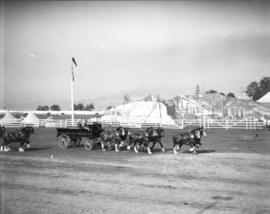Vancouver Exhibition horse teams [Fraser Valley Milk Producers]