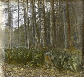 "[""Skunk Cabbage""]"