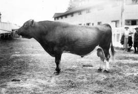 Cluny King, Grand Champion Jersey, owned by R.P. McLennan
