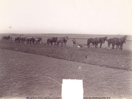 Breaking the Prairie on C. and C. Company's Farm at Stair, N.W.[T.]