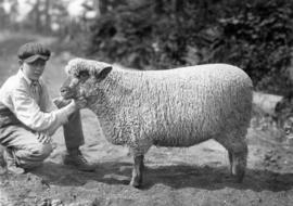 Boy with Oxford ewe in sheep competition