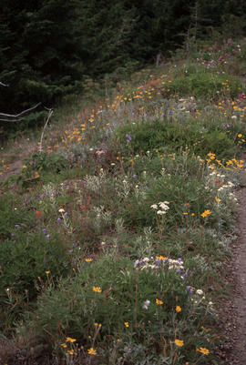 Habitat : Hurricane Ridge Meadow Olympic Peninsula U.S.A.