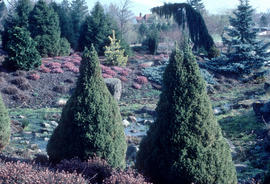 Picea glauca conica, Heather Garden