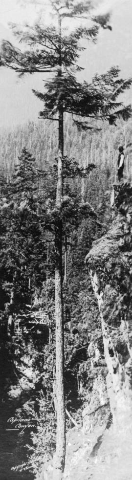 [Man standing on rock ledge next to tall tree], Capilano Canyon