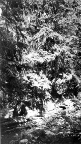 Cedar trees in a forest