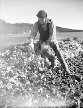 [A man sorting oysters at] Oyster Bay