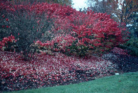 Euonymus alata, fall colour