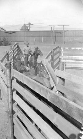 [Cowboy hearding horses into a pen at the Callister Park rodeo]