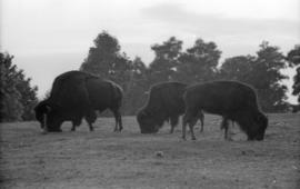 [Bison grazing in Stanley Park enclosure]