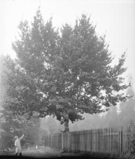[King Edward's VII Coronation Oak near entrance to Brockton Point athletic grounds]