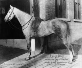 Silver Spray Champion Saddle Horse Vancouver's First Exhibition 1910 Winner of the Birks Med...