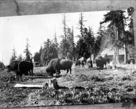 Stanley Park, composite of six bison in their enclosure