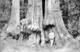 [Man leaning against rear intact portion of Hollow Tree at Stanley Park]