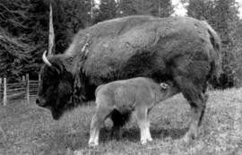 [A bison nursing her calf]