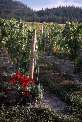 Plant Pathology : Grapes Cedar Creek Vineyard Rose Mildew Indicator