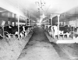 One of the Holstein Herds in Comfortable Sanitary Quarters on the Frasea Farms