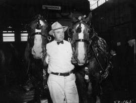 Man with two groomed driving horses in Livestock building