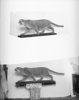 Mountain lion [Leo A. Malfet, Taxidermist, 555 Georgia]