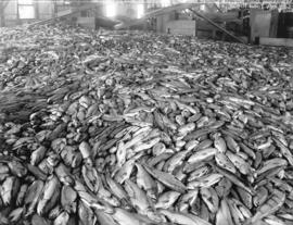 [Floor of Semiahmoo Cannery covered in salmon]