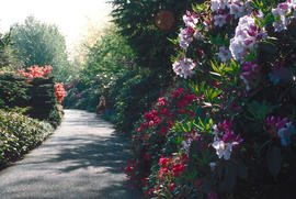 Rhododendron Walk : [untitled]