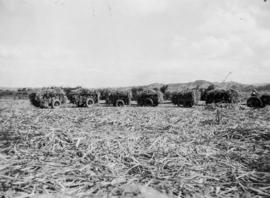 Cane cars etc., pressed steel, loaded sugarcane cars in field