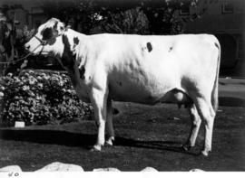 Cattle owned by W.J.S. Page of Steveston, B.C.
