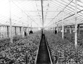 [Greenhouse interior with chrysanthemum seedlings, Brown Bros. Florists]