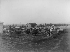 Herding cows on a British Columbia farm