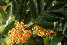 Sambucus racemosa : Yellow Fruited Form [at] Minnekada B.C.