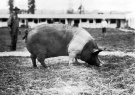 Grazing swine with man in background