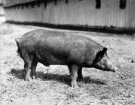 Lamworth boar owned by W. Gilberts
