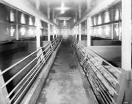 Piggery.  The Interior View of the Up-To-Date Hog House Where the Famous Yorkshire Pork is Produced.