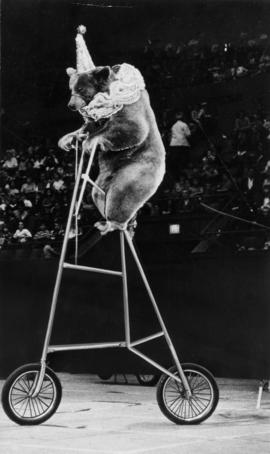 Klauser's Bears : [publicity photo of bear on bicycle in circus act]