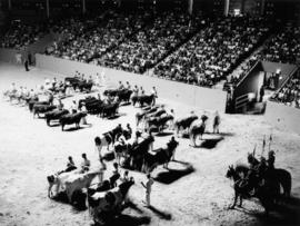 Cattle in 1963 P.N.E. Livestock competition, held in the Agrodome