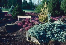 Dwarf conifers : VanDusen dwarf conifer collection