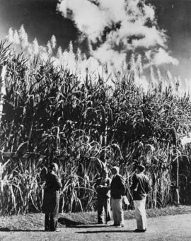 Men near mature stand of sugar cane