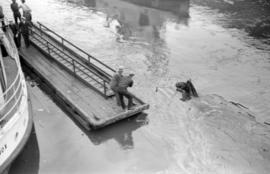 [Men on dock attempting to rescue a horse in the water]