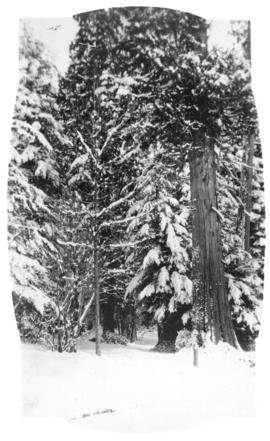 [Snow-covered trees and trail in Stanley Park]
