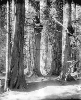 [Stanley Park - Seven Sisters trees]