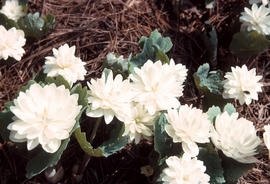 Sanguinaria : Double Bloodroot