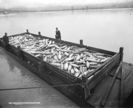 Scow Load of Salmon, Fraser River