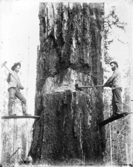 [Two men felling a Douglas fir tree with axes]