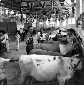 4-H club members with calves in Livestock building