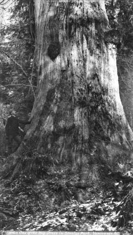 One of the Big Trees in Stanley Park, Vancouver, B.C.