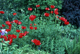 Papaver orien : Goliath [at] Bressingham [Gardens]