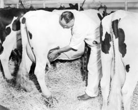 Bill Child, Herdsman Washing a Cow's Udder Prior to the Milking Procedure