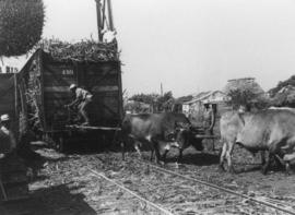Moving sugarcane harvest on a car with oxen and tracks
