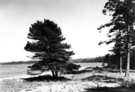 """The Lonesome Pine"" with Indian-named ""Shell Bay' in the background"